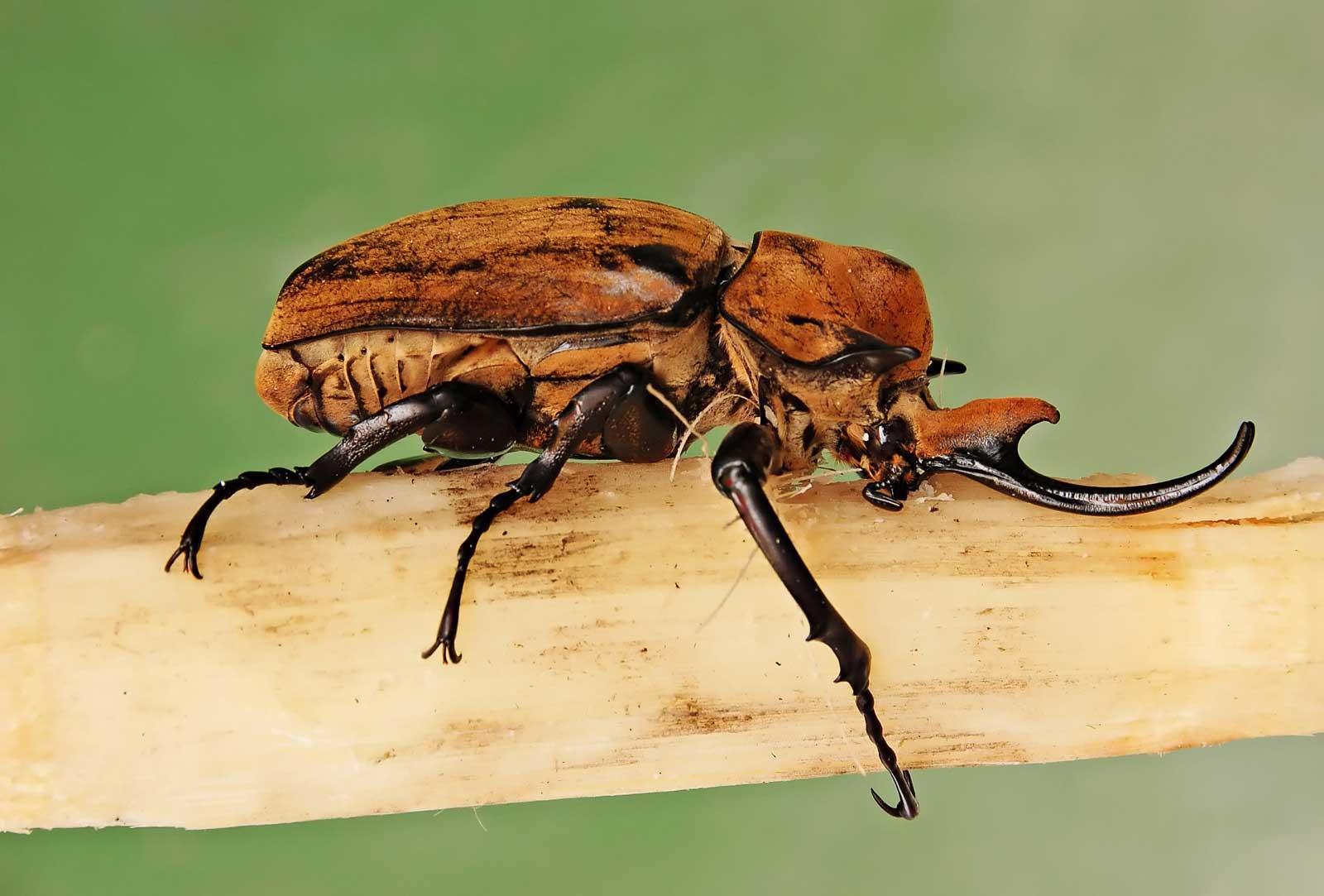 Learn about nature ladybug meaning symbolism learn about nature ladybird song flesh eating beetles elephant beetles biocorpaavc Images