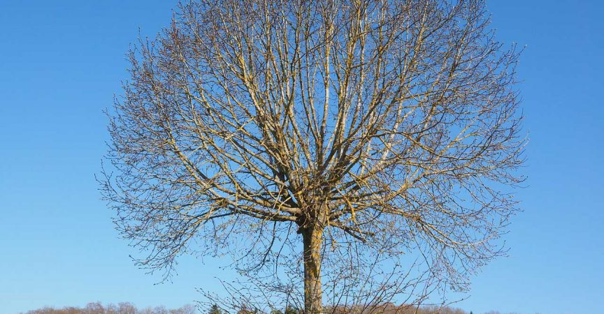 Elm Tree - Learn About Nature