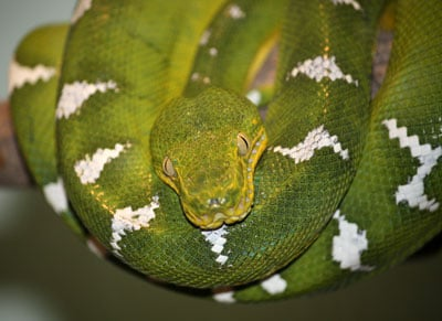 Detailed Article about Emerald Tree Boa