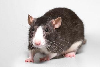 fancy-rat01.jpg
