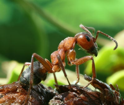 Detailed Article about Field Ants