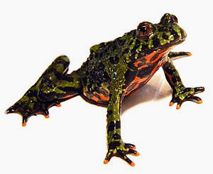 Complete Fire Bellied Toad kits for sale here. We have LIVE healthy adult Fire Bellied Toads sold with a toad habitat. Great pet toad for beginners shipped right to your door.