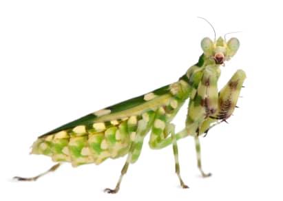 buy flower mantis