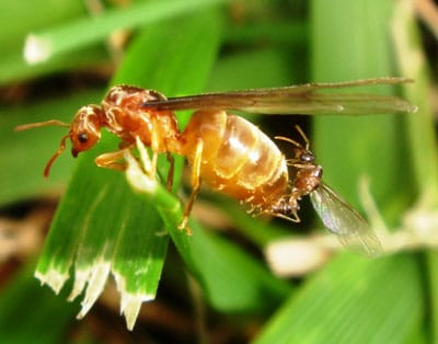 Detailed Article about Flying Ants Biology