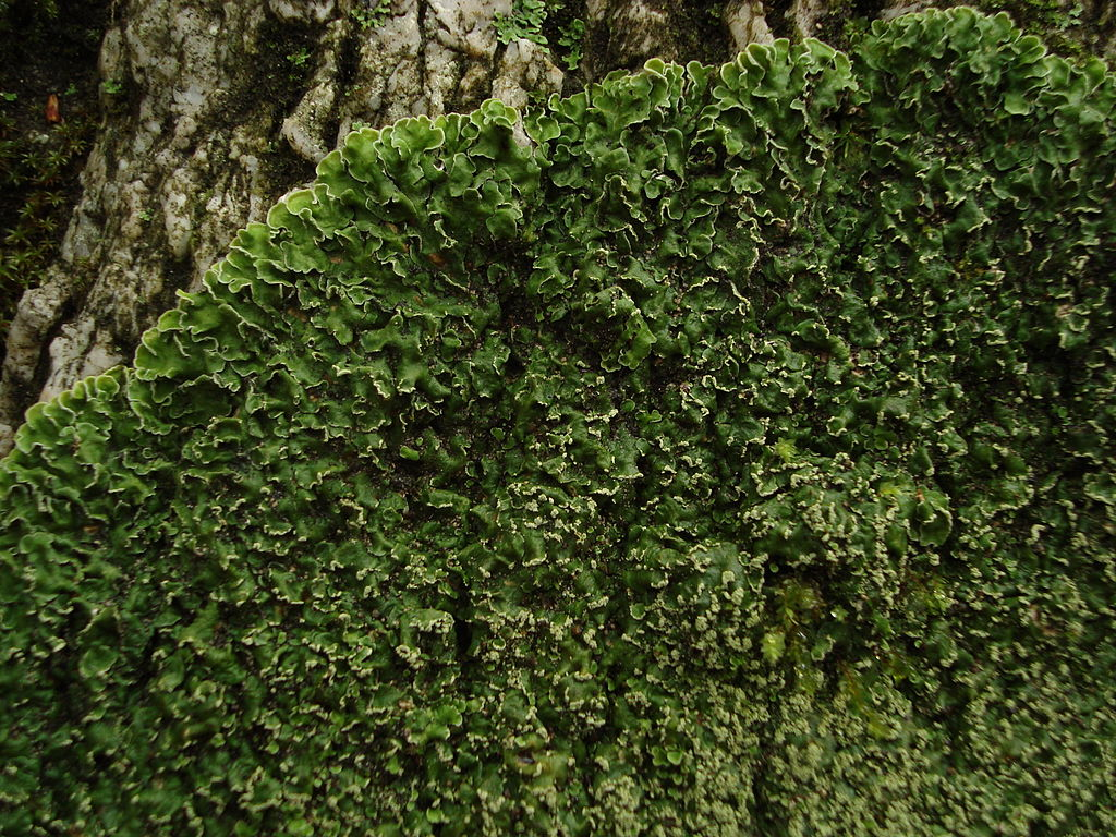 Foliose  Lichen Thumbnail
