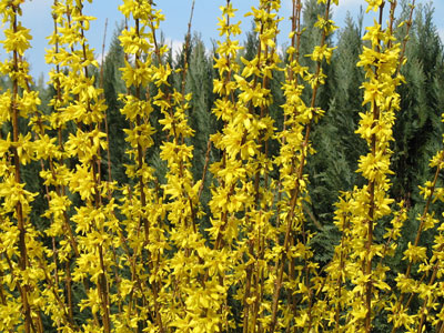 February Flowers: Forsythia