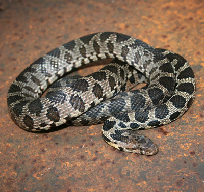 Detailed Article about Fox Snake