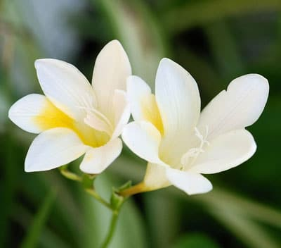 January Flowers: Freesia