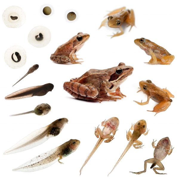 frogs-lifecycle