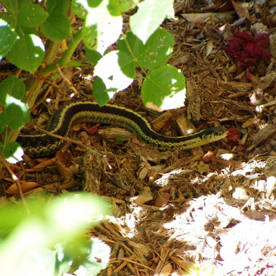 Detailed Article about Garden Snake