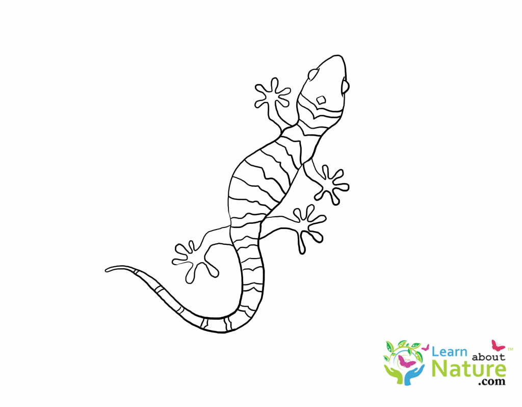 Gecko Coloring Page Learn About Nature