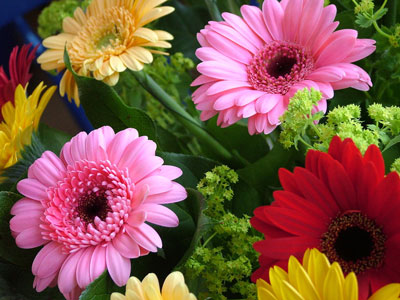 January Flowers: Gerbera Daisies