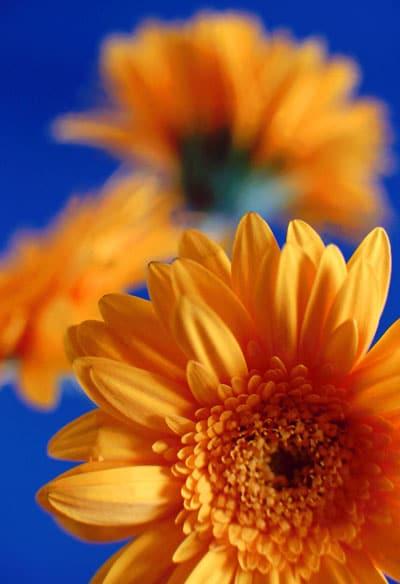 January Flowers: Gerbera Daisies