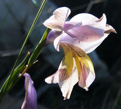 August Flowers: Gladiolus