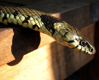 Detailed Article about Grass Snake