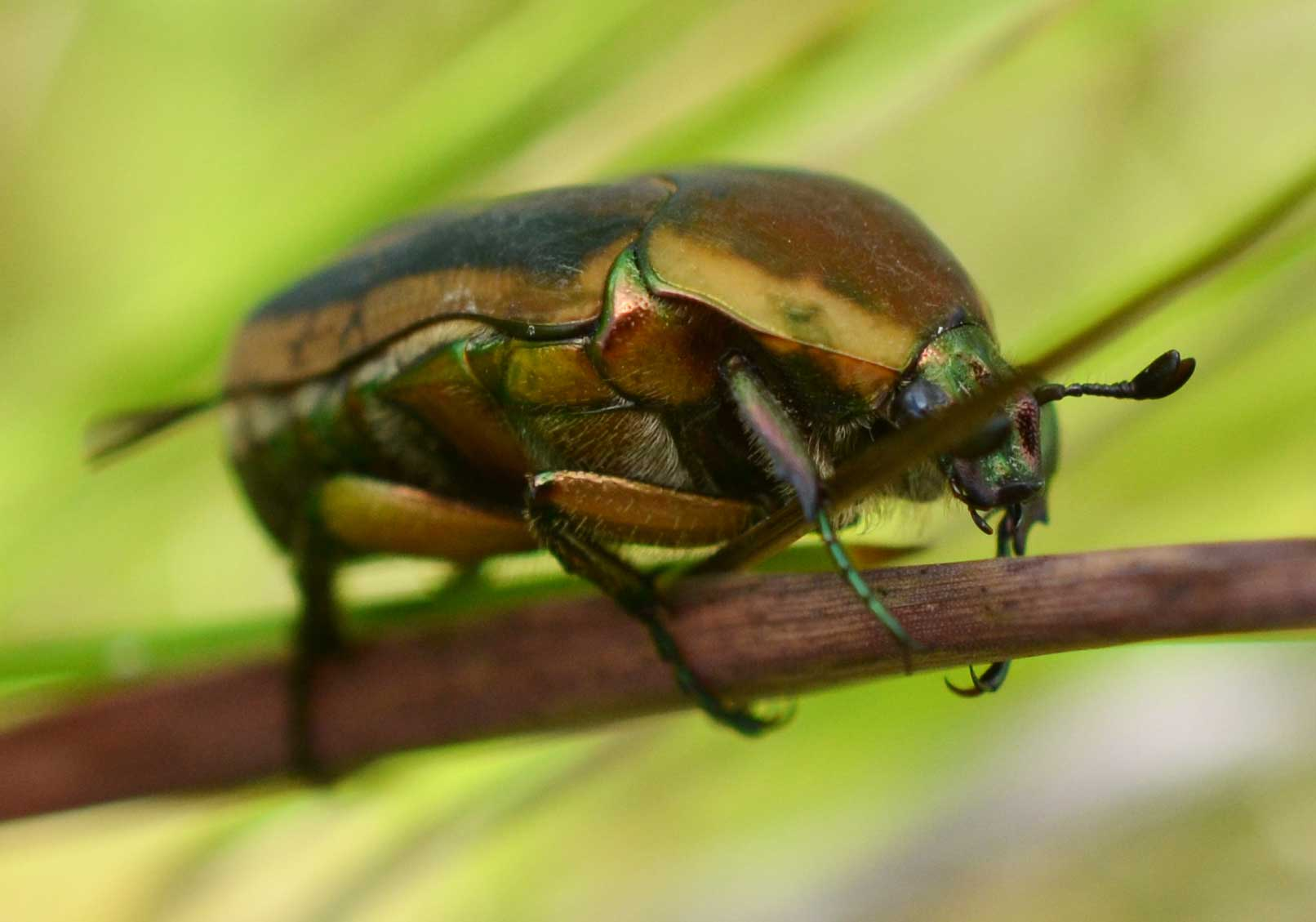 Learn about Nature | June Beetle - Learn about Nature - photo#6