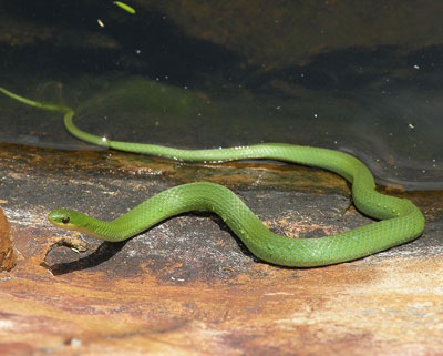 Detailed Article about Green Snake