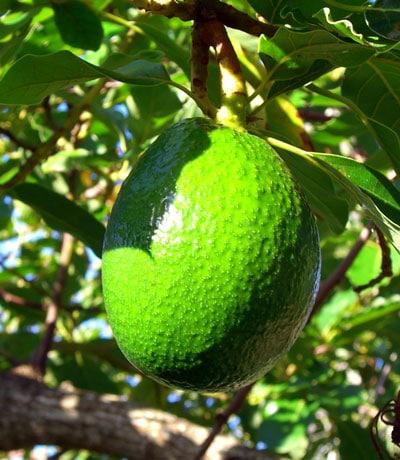 Growing Avocados