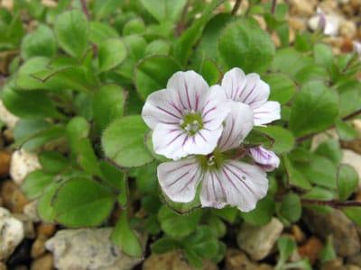 June Flowers: Baby's Breath