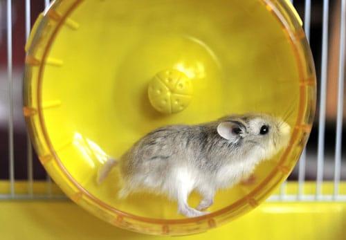 Pet Rat Life Expectancy