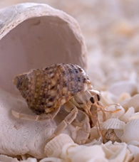 Article about how and why hermit crabs molt.