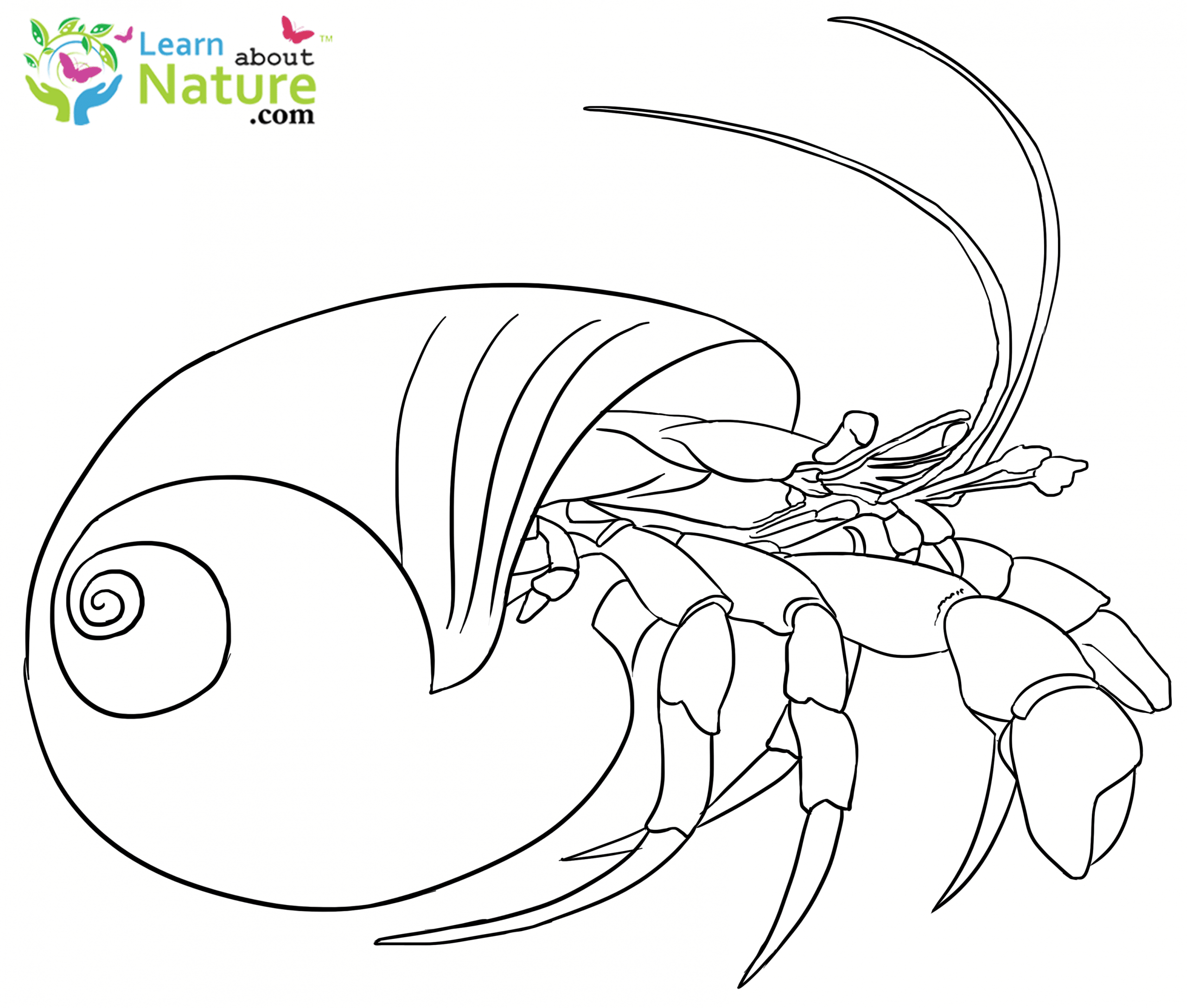 - Hermit-crab-coloring-page-8 - Learn About Nature