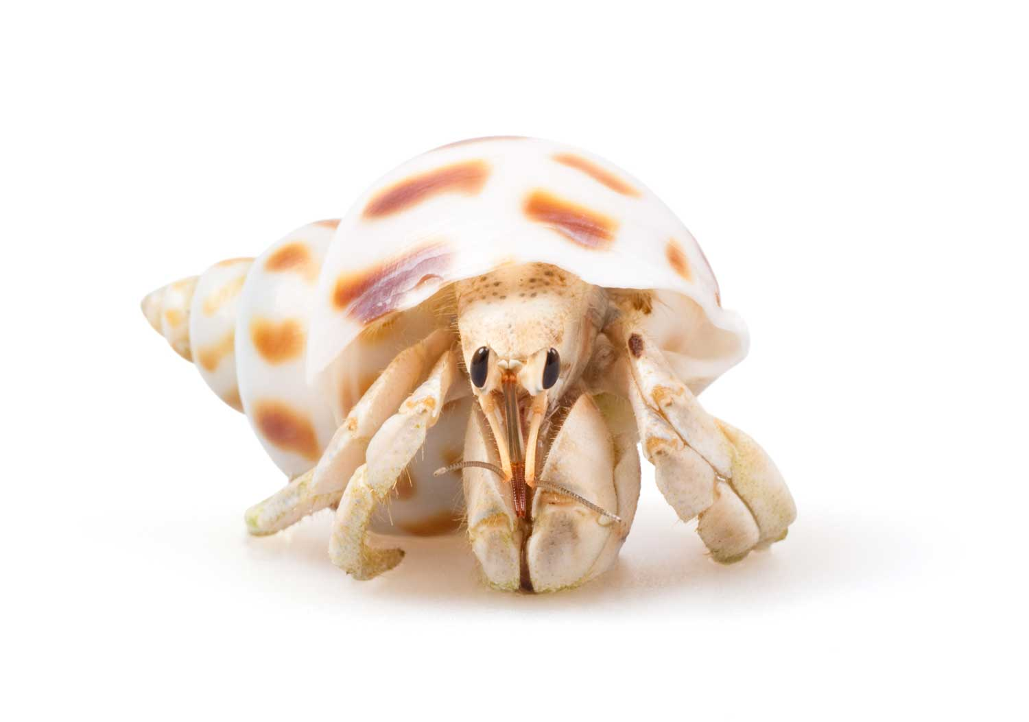learn about nature types of hermit crabs   learn about