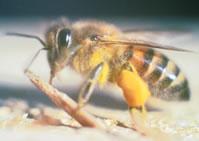 Killer Bees Map