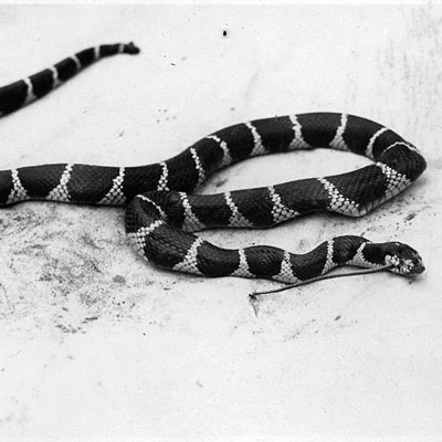 Detailed Article about King Snake