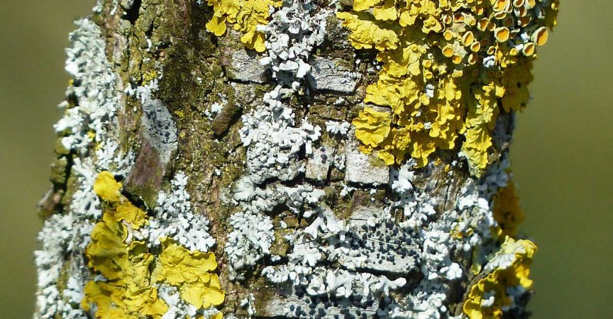 Lichen - Learn About Nature