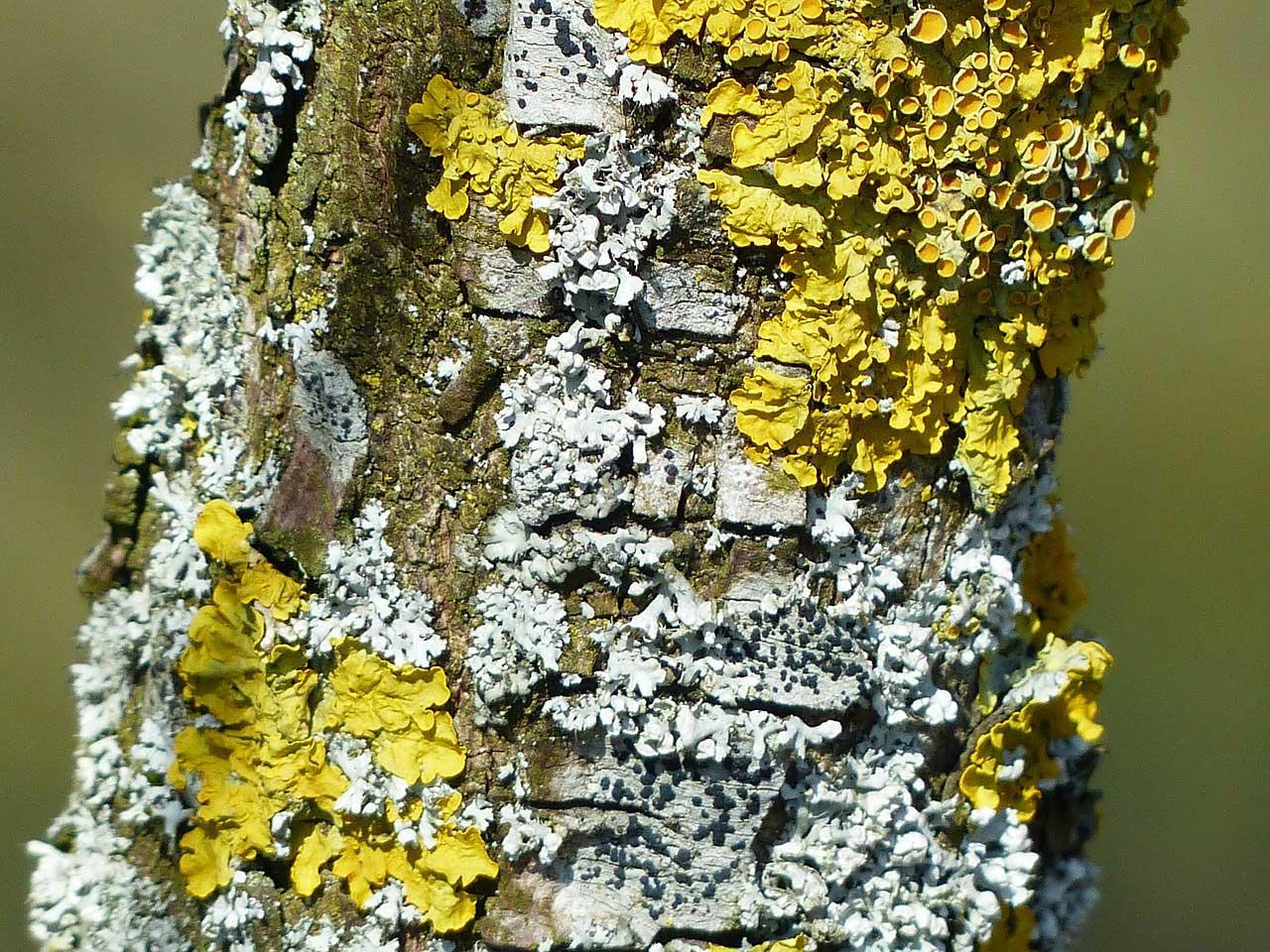 Lichen - Learn About Nature  Lichen - Learn ...