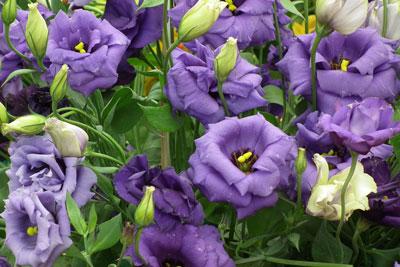 October Flowers: Penstemon Flowers