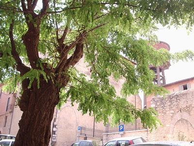 Locust Tree