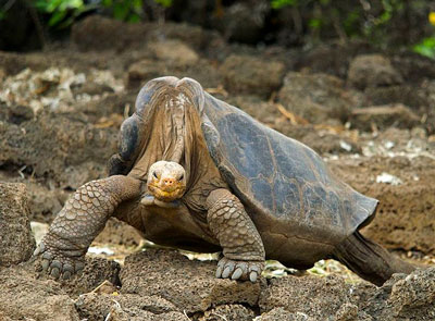 Lonesome George - Pinta Island Tortoise