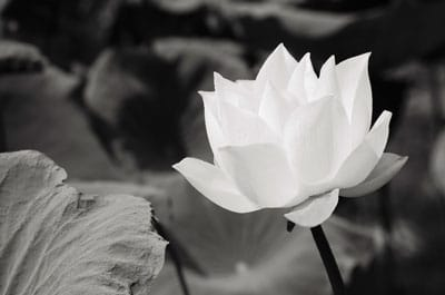 Spring Flowers: Lotus Flower Meaning