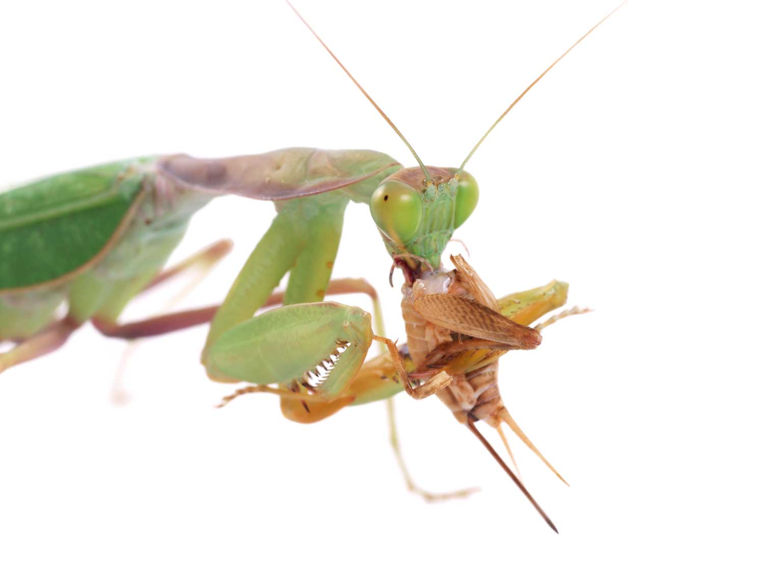 An unlucky cricket being eaten by a Mantis