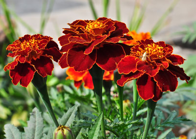 April Flowers: Marigolds