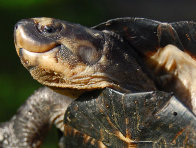 Black Marsh Turtle