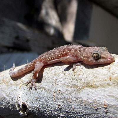 Mediterranean House Gecko Learn About Nature