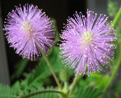 October Flowers: Mimosa Flower