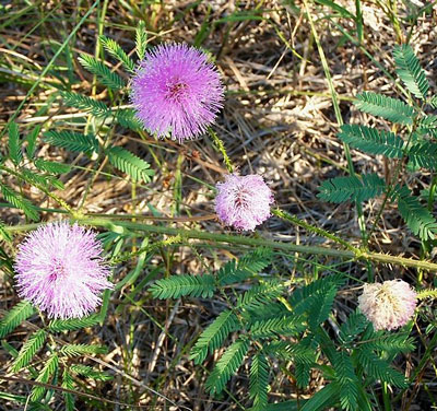 October Flowers: Mimosa Flower