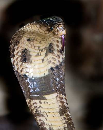 Learn About Nature | Monocled Cobra - Learn About Nature