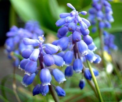 December Flowers: Muscari