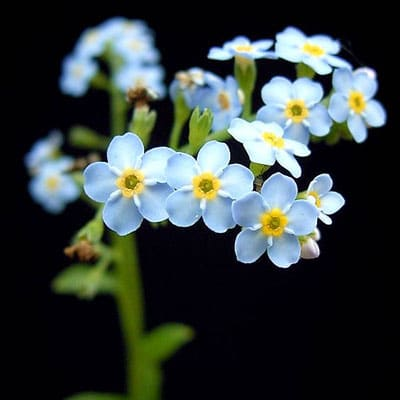 June Flowers: Forget Me Not Flowers