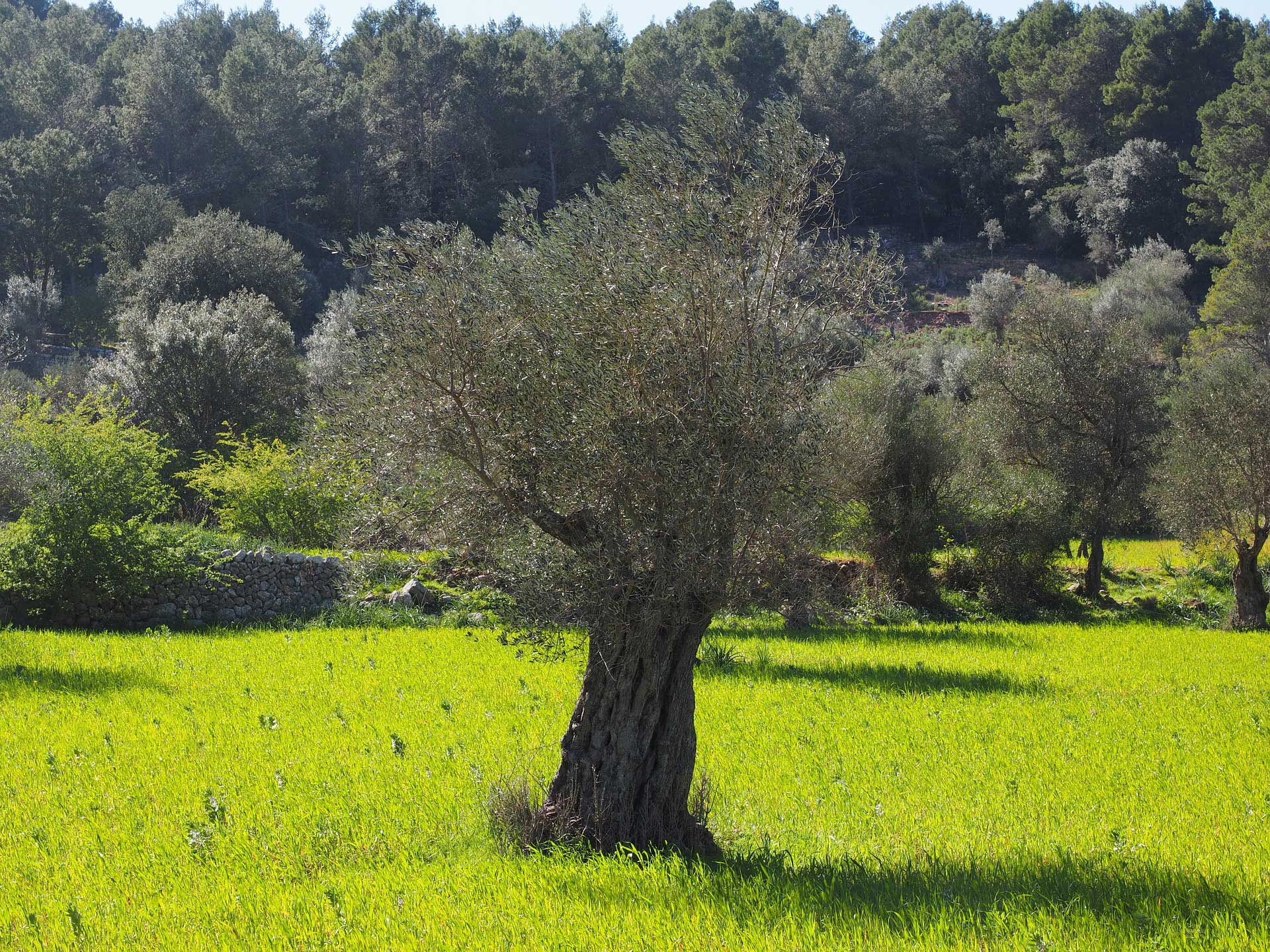 Olive Tree - Learn About Nature