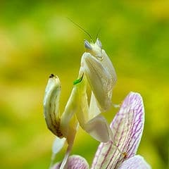 purchase orchid mantis