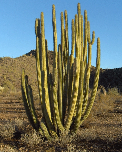 Organ Pipe Cactus Learn About Nature