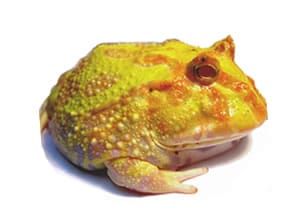 Complete Pacman Frog kits for sale here. We have LIVE healthy adult Pacman Frogs sold with a frog habitat. Great pet frog for beginners shipped right to your door.