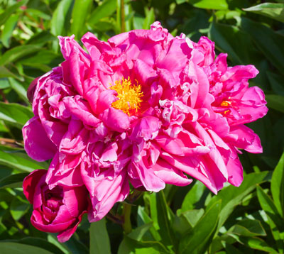 May Flowers: Peonies