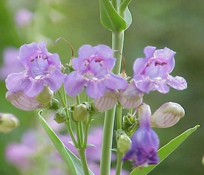 October Flowers: Penstemon Flowers